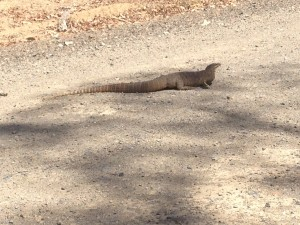 Goanna on Snake Creek Rd.