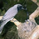black faced cuckoo strike