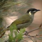 Lewins Honeyeater - male
